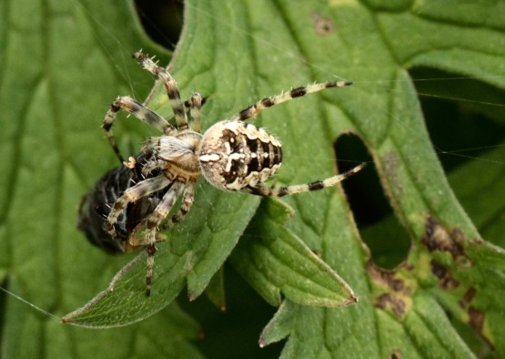 Cross Spider carrying Overfly to hiding place