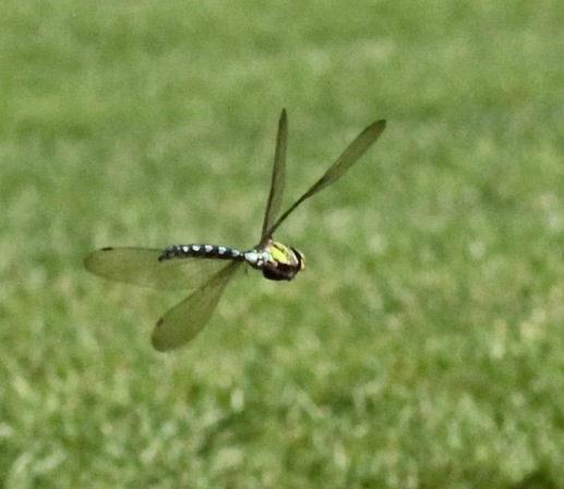 Southern Hawkers are highly manoeuvrable and fast