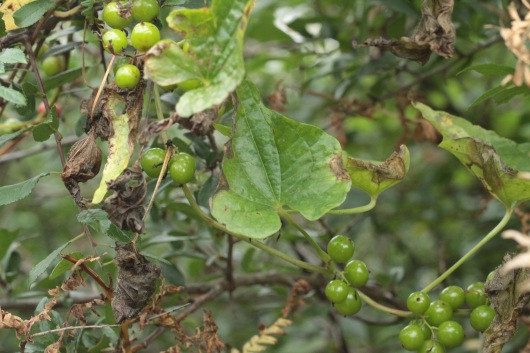 Glossy, heart-shaped leaves drop as the poisonous berries ripen