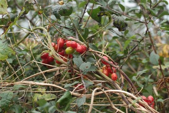 Black Bryony twining through a hedge