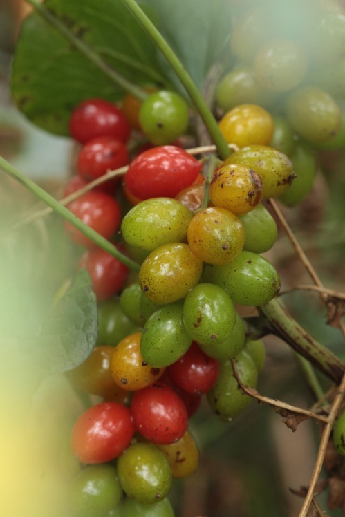 Poisonous berries of Black Bryony