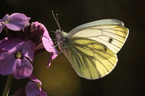 A second, 'summer brood' Green-Veined White