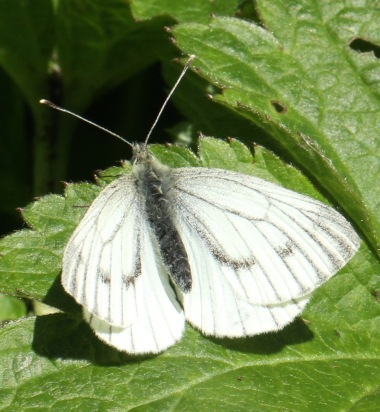 Female Green-veined white.