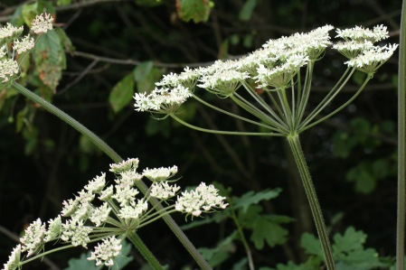 Hogweed- coarser, flatter and less colourful but insects still frequent ti