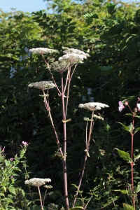 Angelica can grow up to 2 metres, especially in damp areas