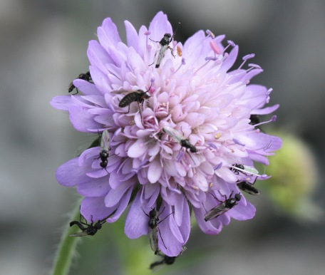 Small insects feeding on Field Scabious