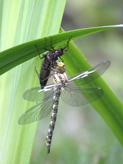 Southern Hawker., newly hatched on our garden pond, with its empty nymph case