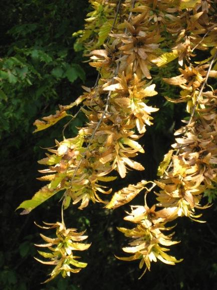 Ripe Hornbeam seeds