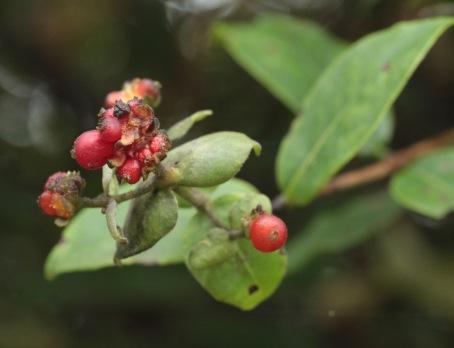 Honeysuckle berries