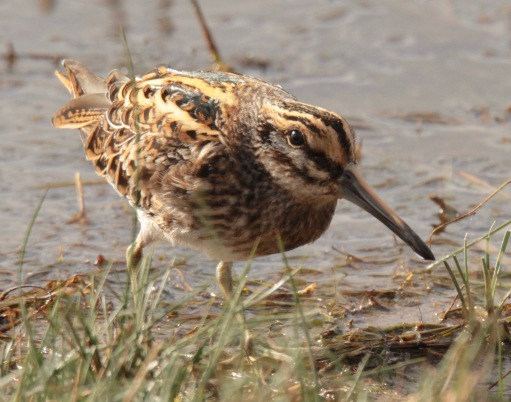 Jack Snipe feed on seeds, plants and small organisms in the water