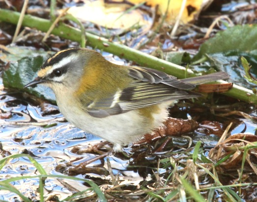 Firecrest washing at Spurn