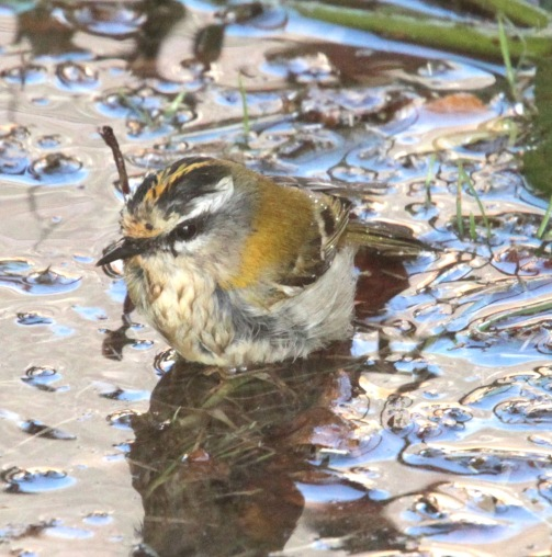Firecrest, aptly described by the RSPB as a 'tiny restless jewel'
