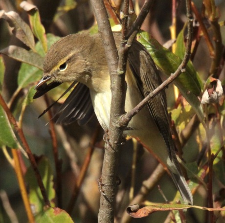 Chiffchaff preening in the autumn sun