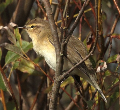 Chiffchaff showing its light eye-stripe
