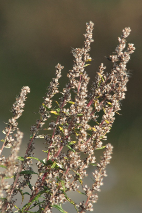 Mugwort flowers at this time of year