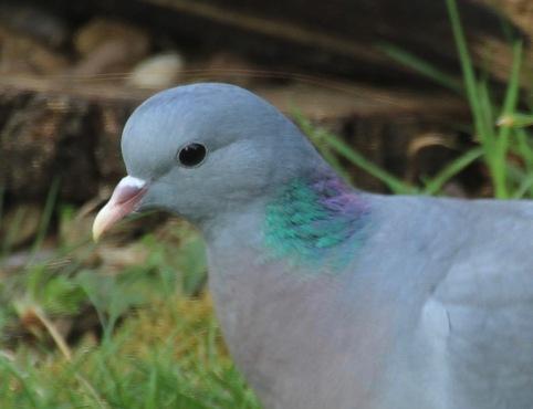 Stock Dove head and neck