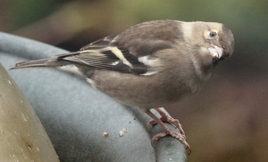 Female Chaffinch- one of several in the garden now