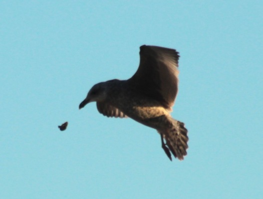 Juvenile Herring Gull flies up and drops its prey