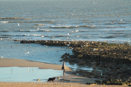 Hundreds of Gulls gather at low tide, Bexhill