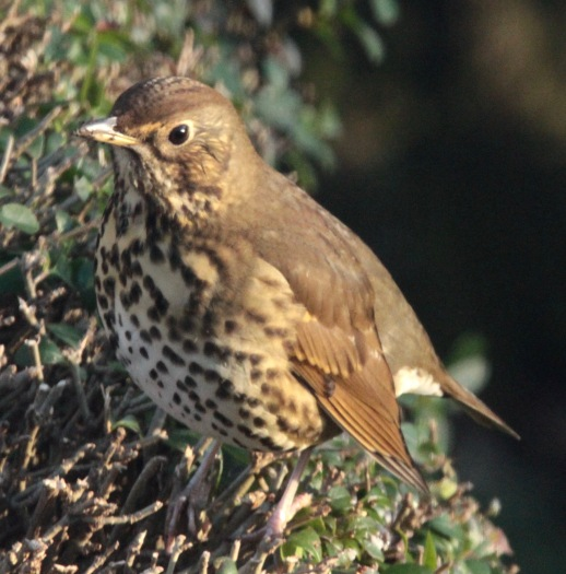Todays' Song Thrush