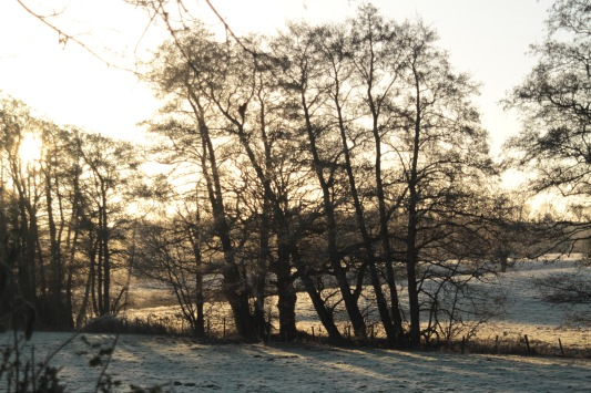Alders lining a Catsfield stream this frosty morning