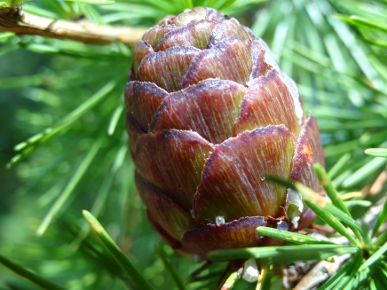 Larch cones in summer