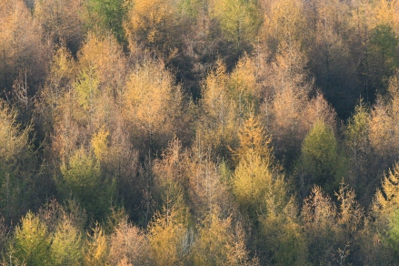 Larch plantation in Autumn