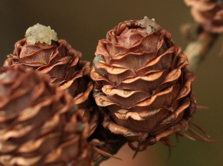 Larch cones in winter