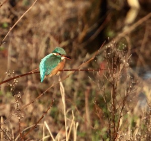 Kingfisher, River Don