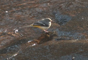 Grey Wagtail, River Don