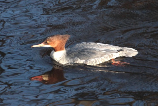 Female Goosander, River Don