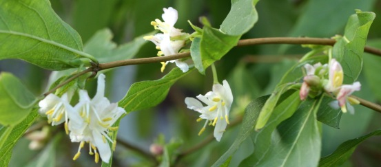 Winter Flowering Honeysuckle