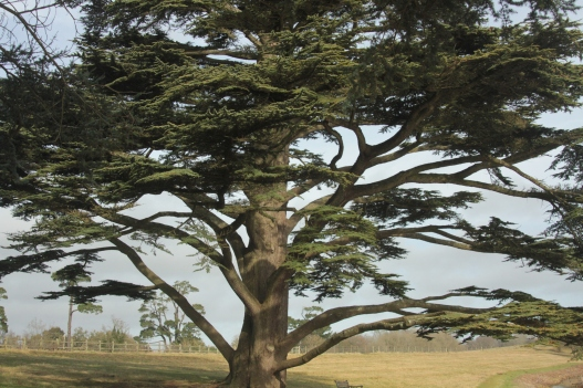 Cedar of Lebanon as typically planted in an 18th century parkland