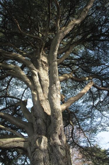 Cedar fo Lebanon trunk