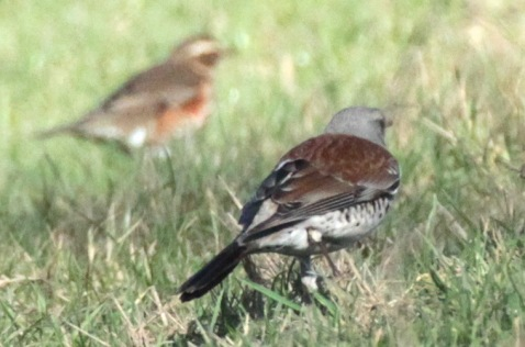Fieldfare, in front and Redwing, behind, feeding on insects