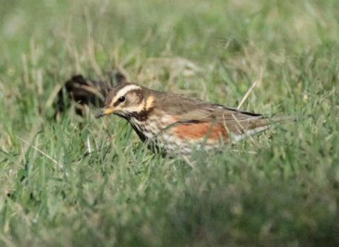 Redwing feeding