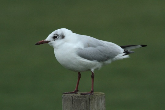 This Black-headed Gull is still in winter plumage