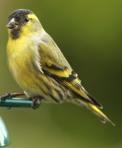 Adult male Siskin