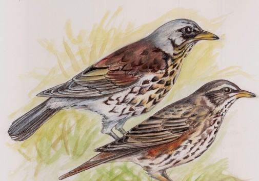 Fieldfare (above) and Redwing