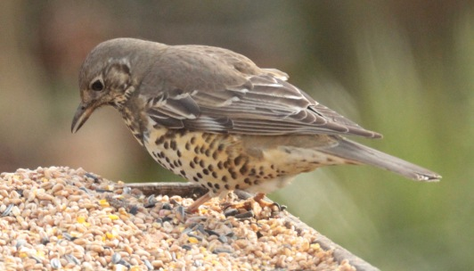 Mistle Thrushes are larger with larger, more blotchy spots than Song Thrushes