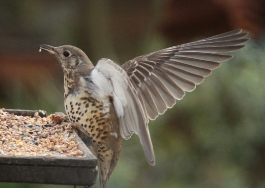 Mistle Thrush, defending its feeding area and showing its white underwing.