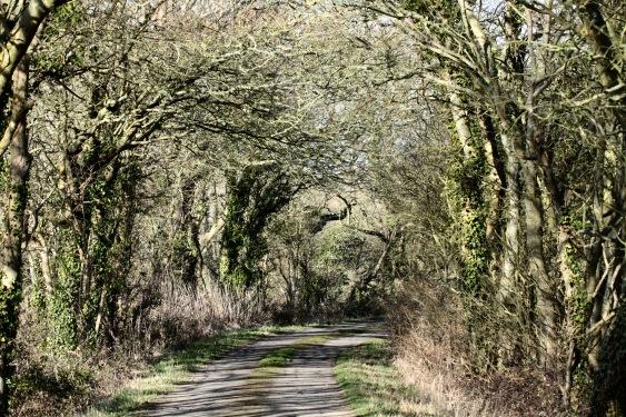 Oak-lined lane, Wartling, Sussex