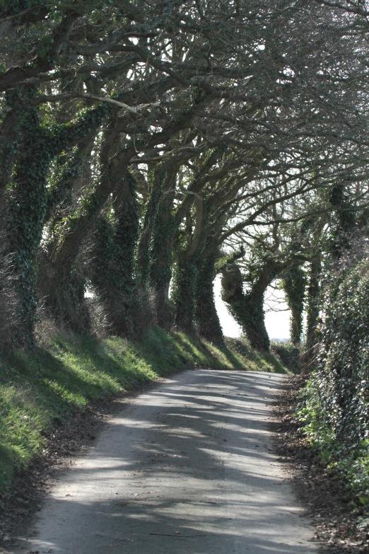 Oaks along lane to Hooe church