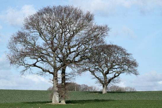 Standard Oaks in field, Hooe